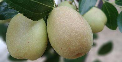 Azufaifa
